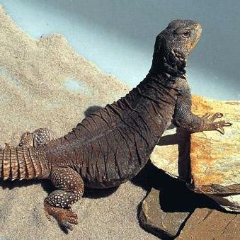 uromastyx lizard walk